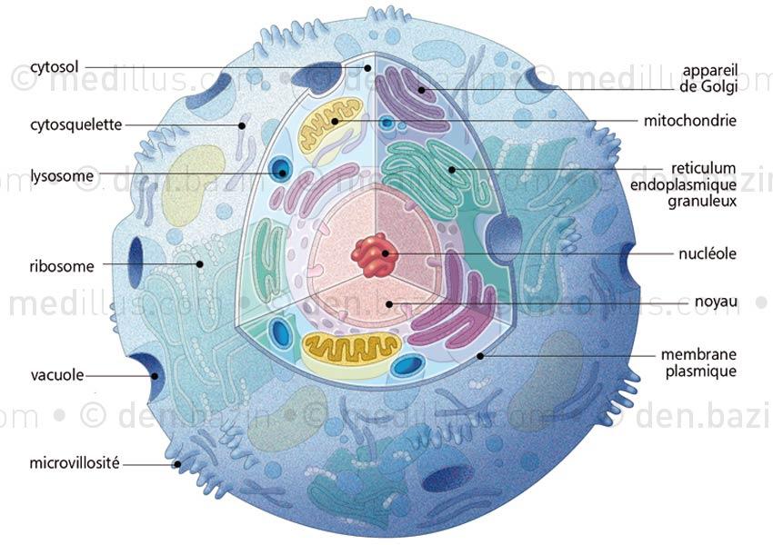 Structure et éléments constituant une cellule