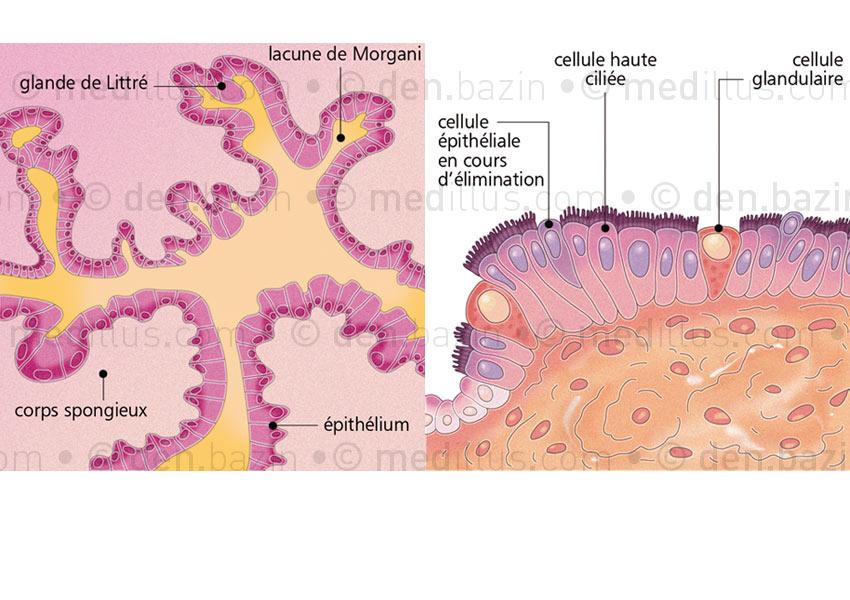 Épithéliums de l'urètre et de la trompe utérine