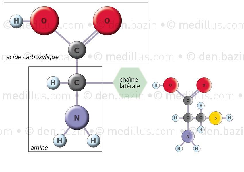 Structure atomique des acides aminés
