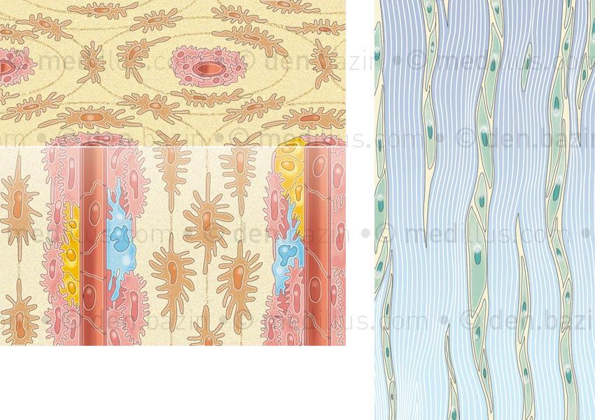 Tissu osseux et organisation des fibres de collagène