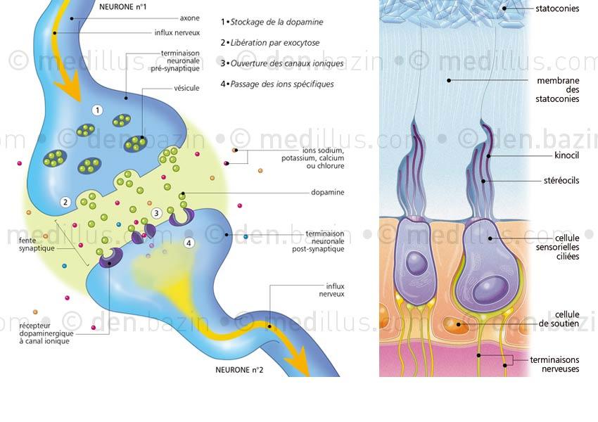 Synapse chimique à dopamine et cellule ciliée de l'oreille interne