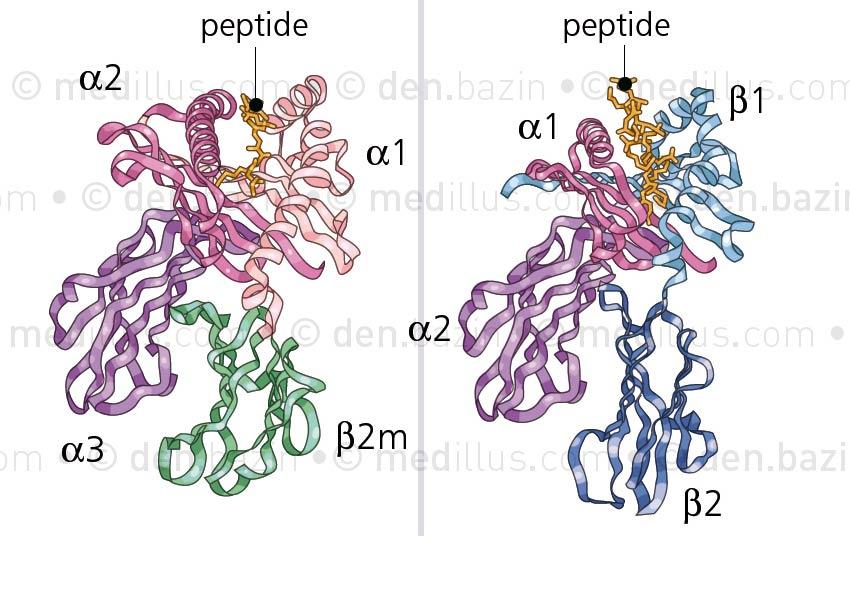 Protéines antigènes HLA de classe 1 et 2