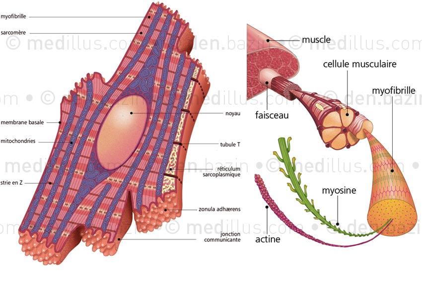 Structure d'un myocyte et microfibre musculaire