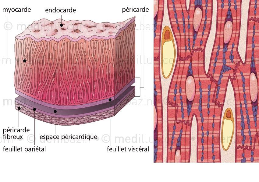 Tuniques cardiaques et organisation des myocytes