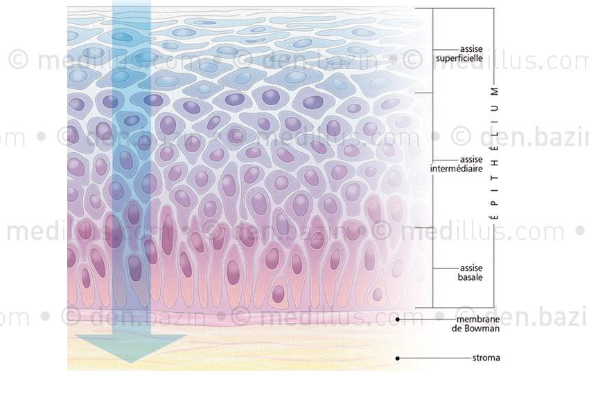 Organisation des cellules épithéliales de la cornée