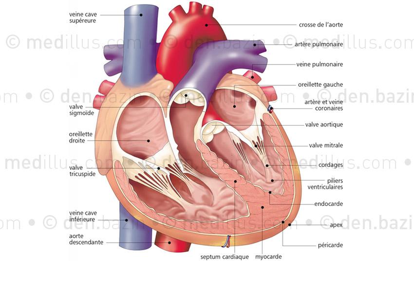 Coupe anatomique