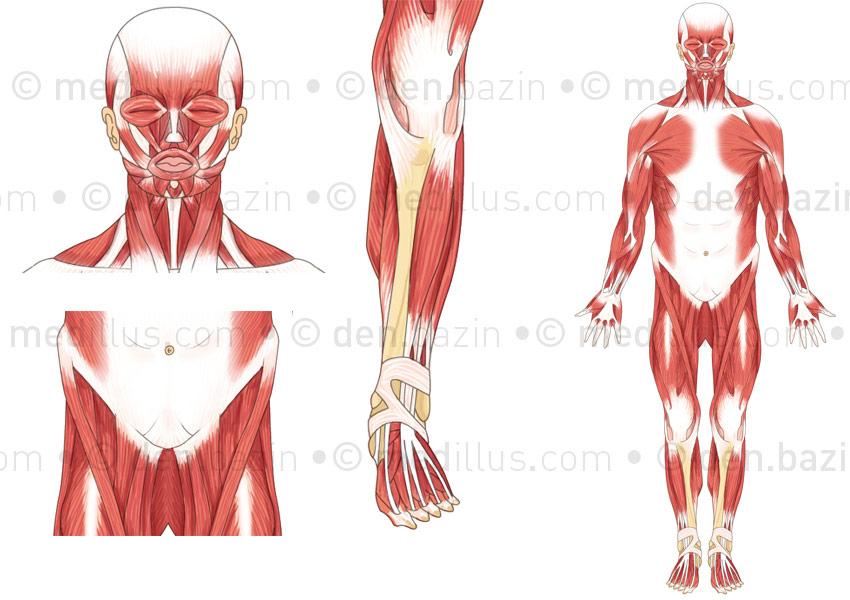 Vue antérieure des muscles