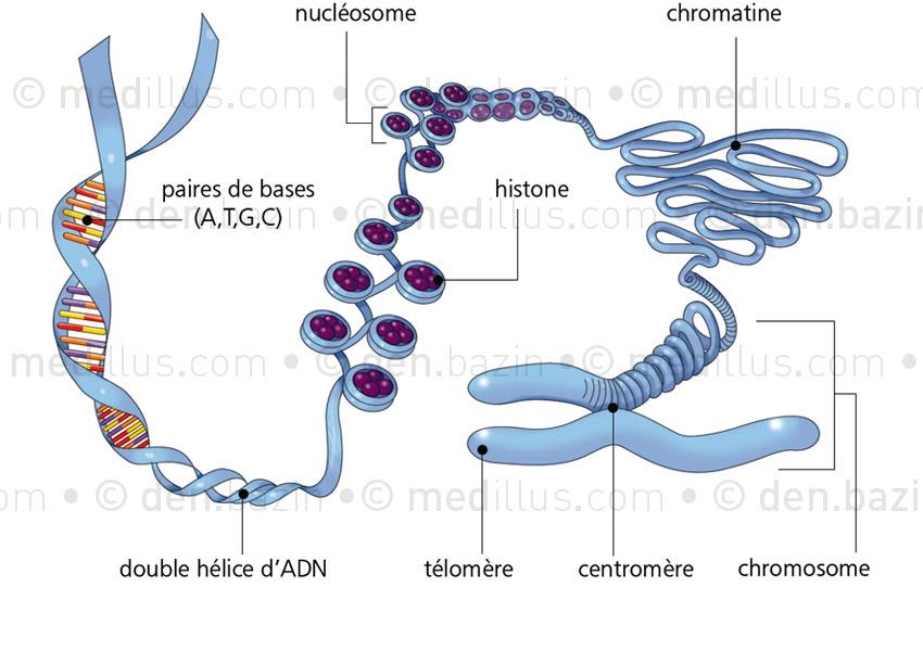 Déroulé de chromosome