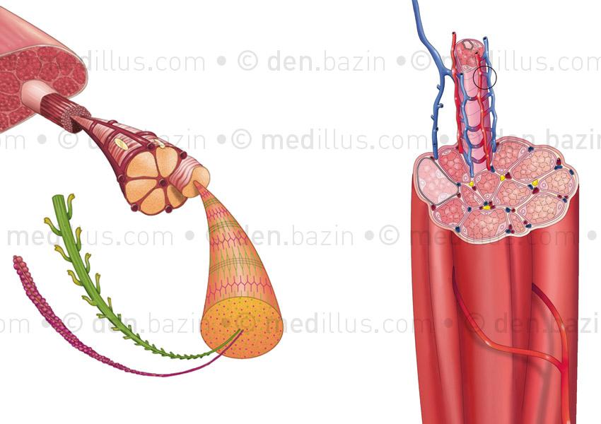 Myofibrille et vascularisation d'un faisceau musculaire