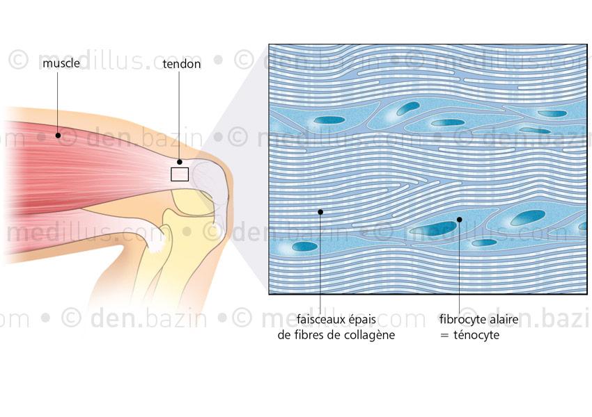 Histologie du tendon musculaire