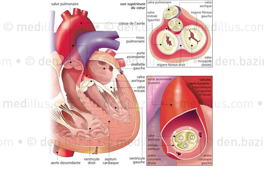 Les valves cardiaques