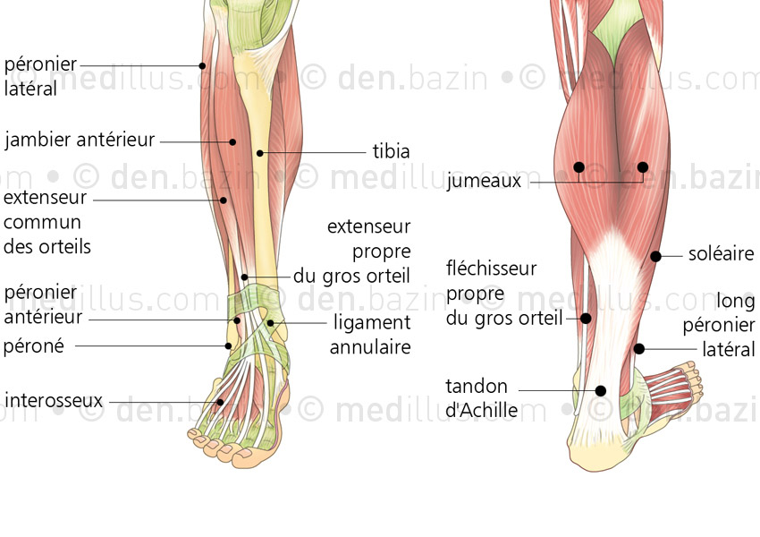 Muscles superficiels de la jambe