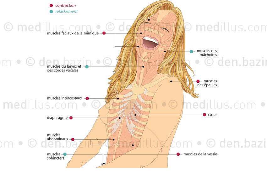 Les muscles du rire
