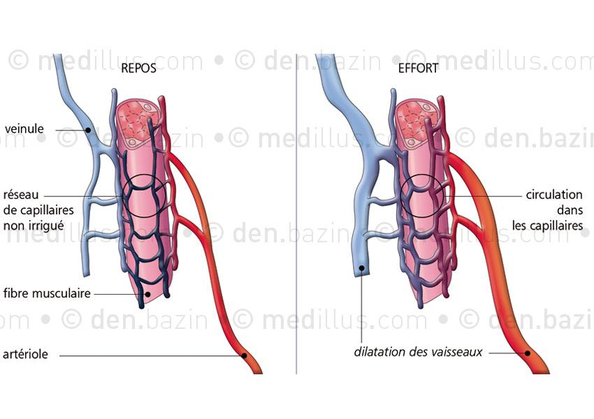 Vascularisation de la fibre musculaire au repos et à l'effort