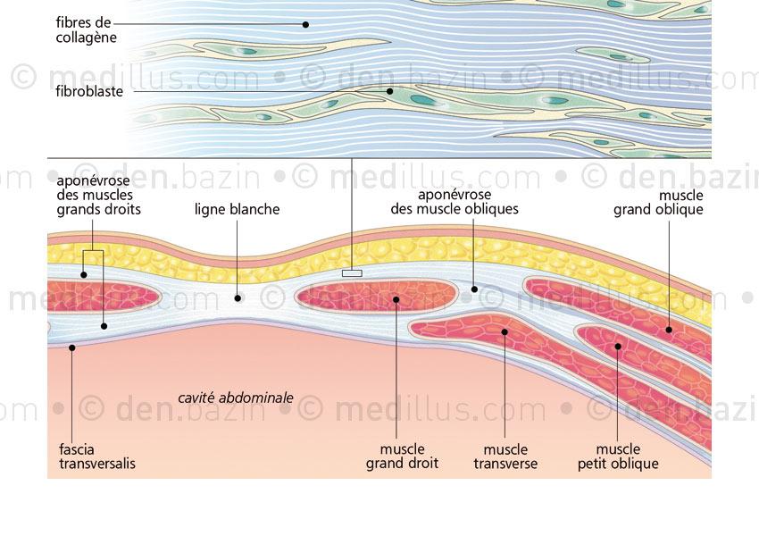 Histologie de l'aponévrose musculaire
